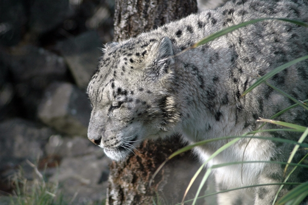 Snow Leopard at Dublin Zoo