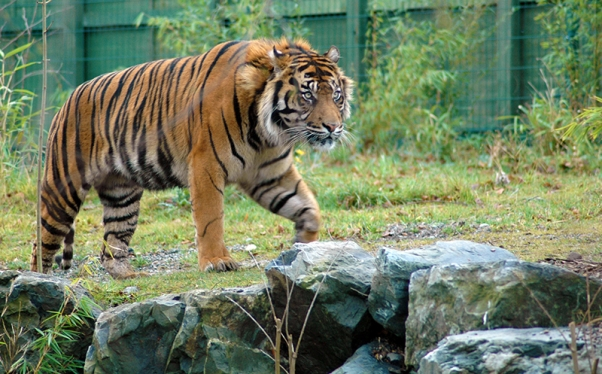 Prowling Sumatran tiger at Dublin Zoo