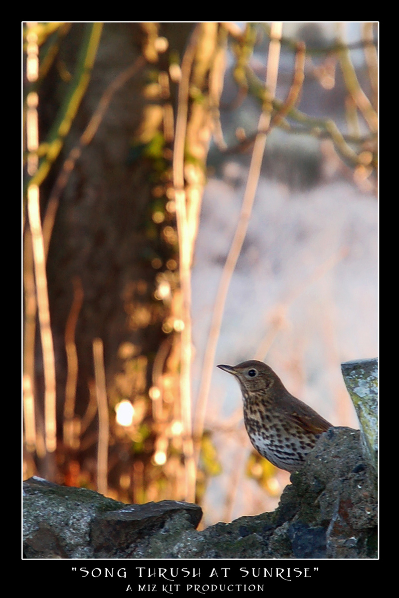 Song Thrush at Sunrise