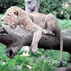 lazy lion at dublin zoo